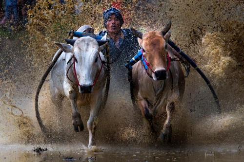 West Sumatran Buffalo Race.